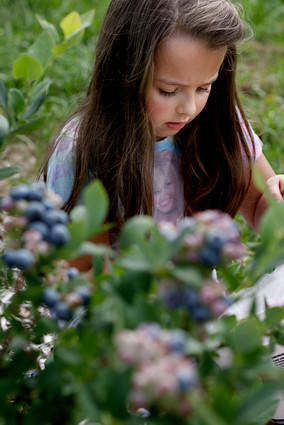 Brooke D'Addio, 6, of Cheshire, picks blueberries at the Norton Brothers Fruit Farm in Cheshire on Sunday. This summer's wet weather has produced a bumper crop of blueberries in the region. The D'Addio family comes out about once a year to pick fruits, but this is the first year they've been successful picking blueberries.