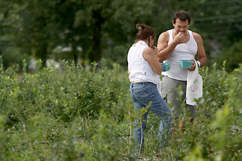 Pictures: Picking Blueberries in South Glastonbury - Picking blueberries in South Glastonbury