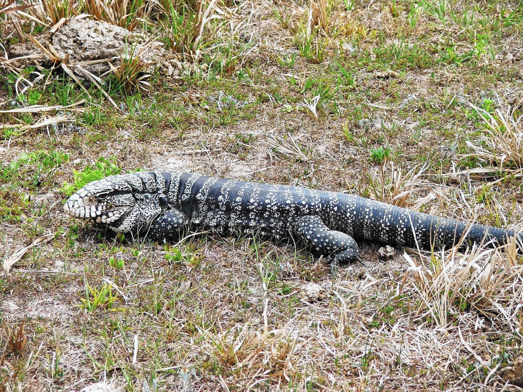 Florida is facing a tegu invasion. (Photo courtesy of Jackie Guzy, Biological Research Associates)