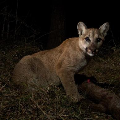 Female mountain lion kitten P-28 feeds in Malibu Creek State Park.