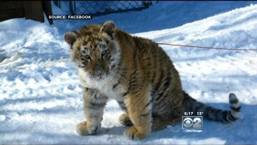 Tiger On A Leash Makes The Rounds In Lockport
