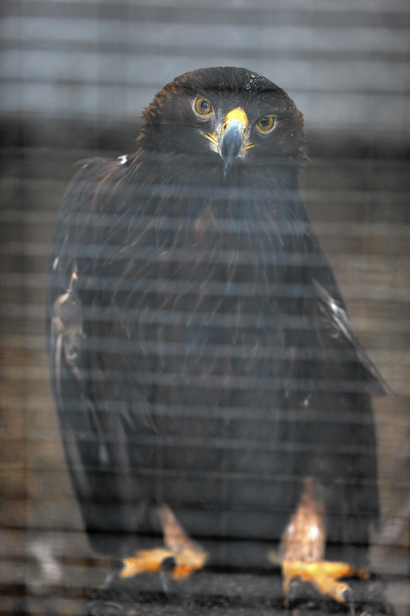 This golden eagle at the Illinois Raptor Center in Decatur lost its left wing after it hit a power line.