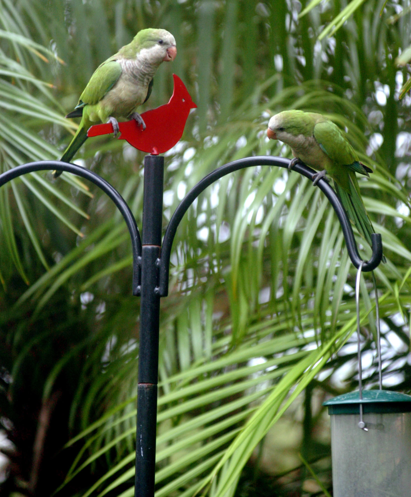 Monk parakeets that feed in the yard of a home in Coral Springs.