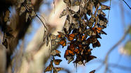 Reader photo: Butterfly cluster at the Goleta Monarch Grove
