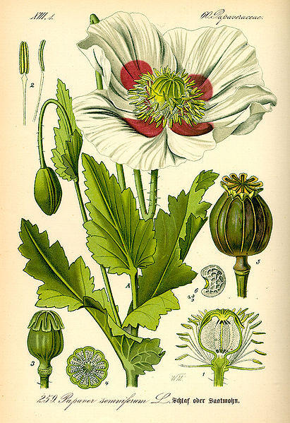 Papaver somniferum, the plant species that serves for as the source for many narcotics, including morphine.