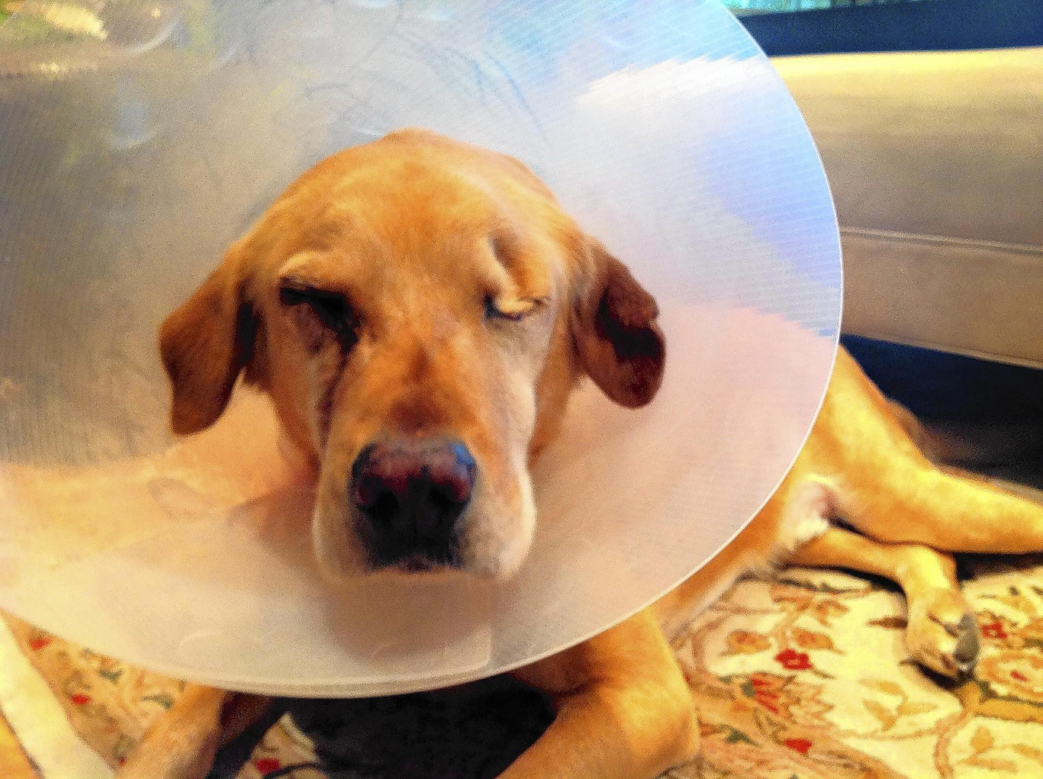 Petey, a Labrador mix, has been treated for a variety of ailments, including losing his sight.