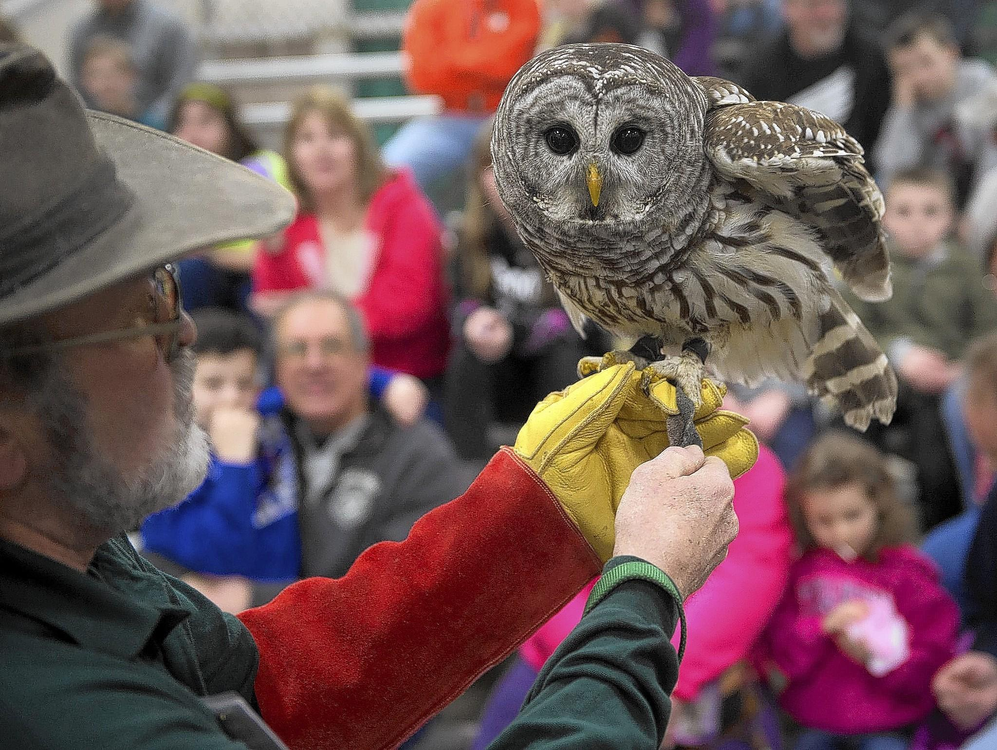 Eric Uhler holds a Barred Owl for members of the audience to see during a demonstration at the 2014 Lehigh Valley Sportsman Show, held at the Agri-Plex at the Allentown Fairgrounds on Sunday.