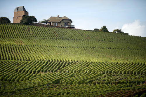 Champagne vineyards are pictured in Verzenay, eastern France during the traditional Champagne wine harvest October 8, 2013.