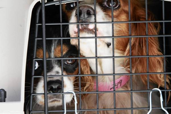 Two Cavalier King Charles Spaniels arrive at the Anti-Cruelty Society, with 43 other dogs rescued from Midwestern puppy mills in 2011.