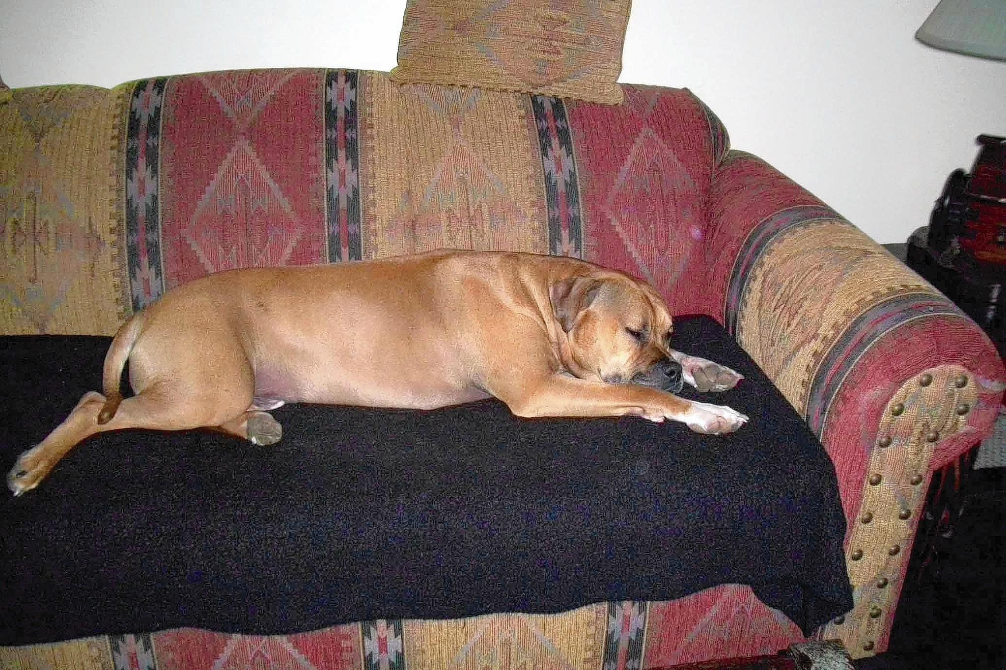 Joe, a bull mastiff mix, is owned and loved by Patti Leister, 60, of Quakertown.