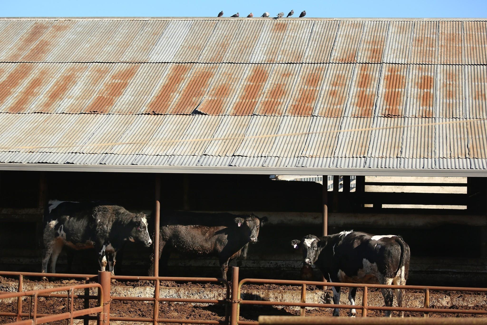 Documents obtained by The Times show that Rancho Feeding Corp., a Bay Area slaughterhouse at the center of a massive beef recall, processed cows that had cancer. Above, cows wait to be butchered at Rancho Feeding in Petaluma, Calif., in January.