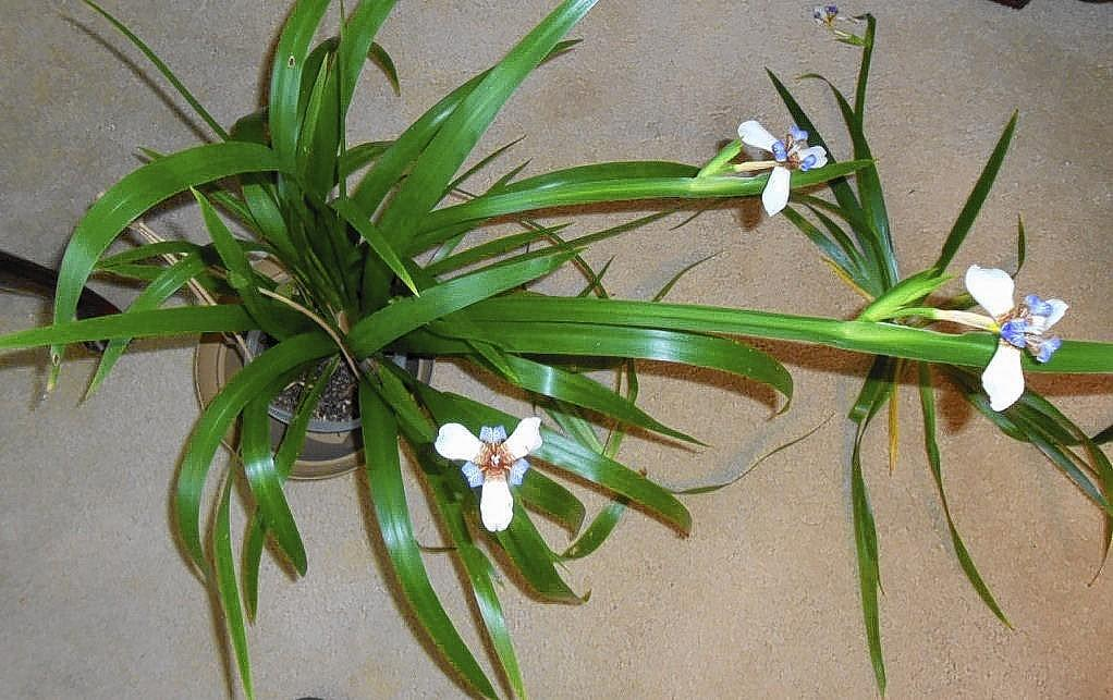 The apostle plant is one of the easiest plants to grow, both indoors and out.