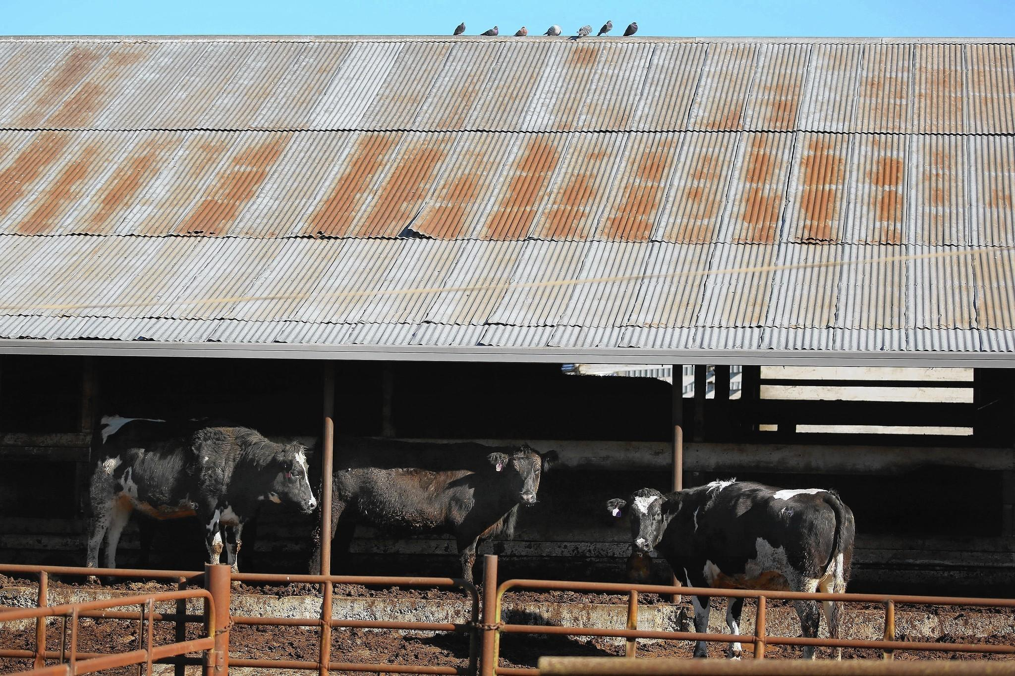Bay Area beef processor sold meat from cows with eye cancer - latimes