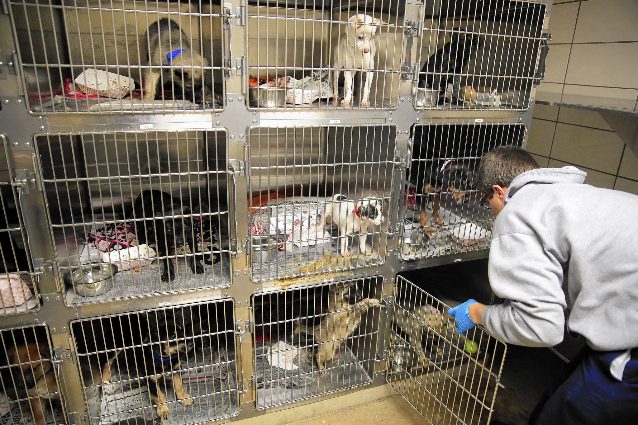 David Pinto treats newly arrived puppies with an anti-parasite drug Wednesday at the Anti-Cruelty Society in Chicago. Beginning next March, Chicago pet stores won't be able to sell dogs, cats or rabbits obtained from large-scale breeding operations. All such animals, mostly dogs, sold in the city will have to come from government pounds, rescue operations or humane societies.