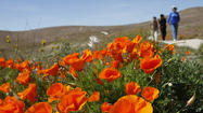 SoCal: Recent rains revive chance of showy poppies, wildflowers