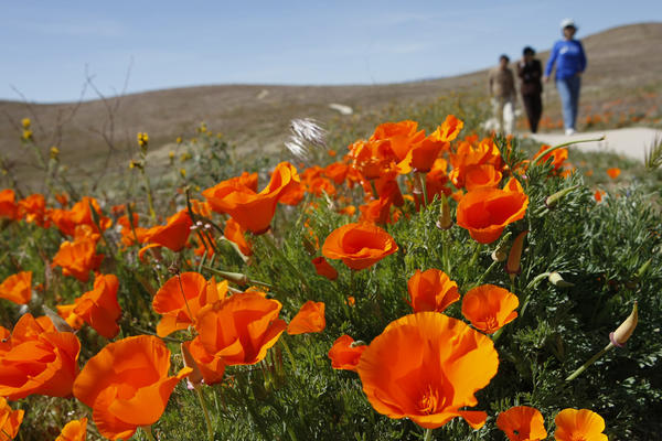 Spring blooms at the Antelope Valley California Golden Poppy Reserve in 2009.