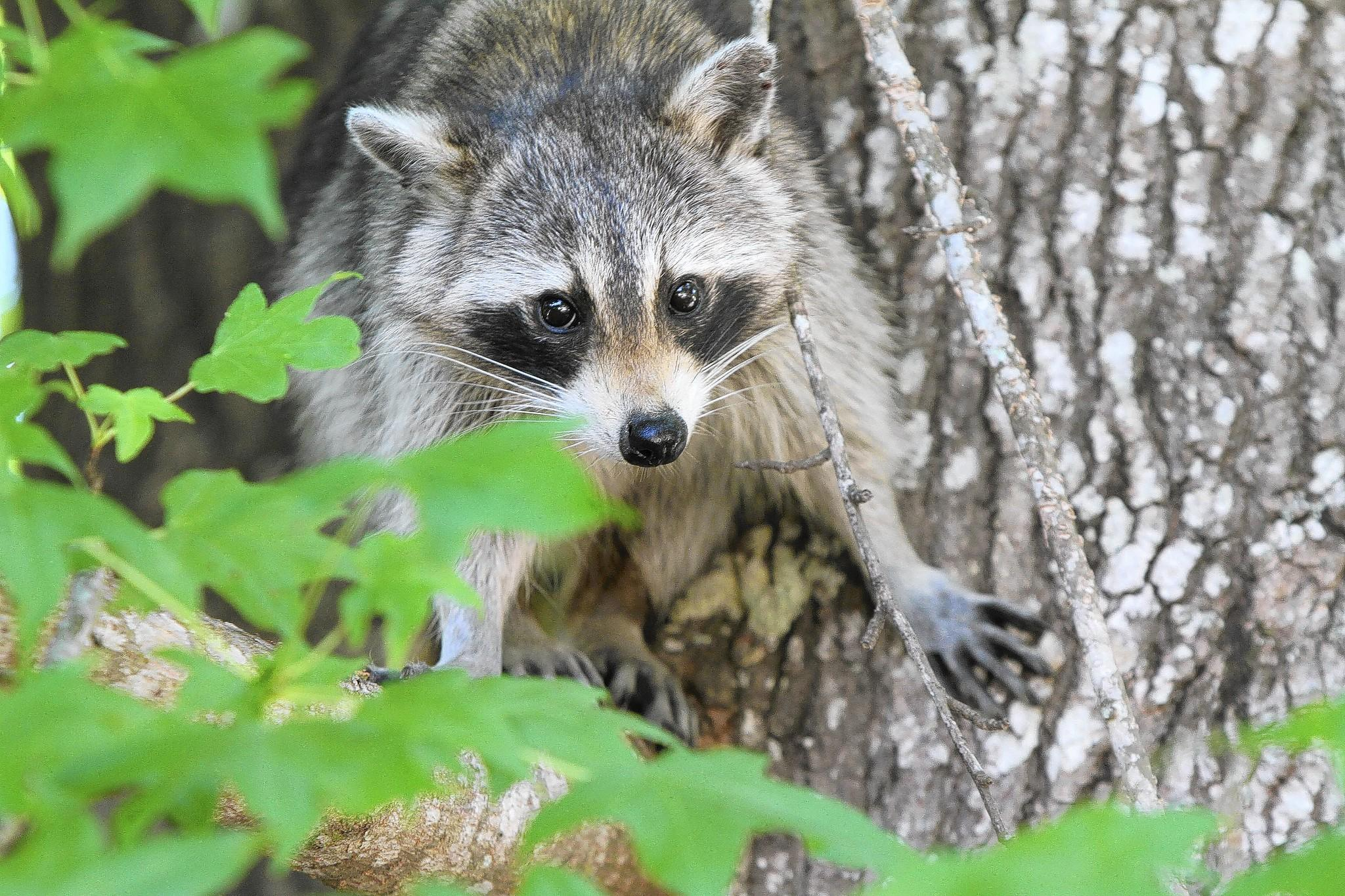 A raccoon watches from a tree at Alexander Springs on Wednesday, May 18, 2011.