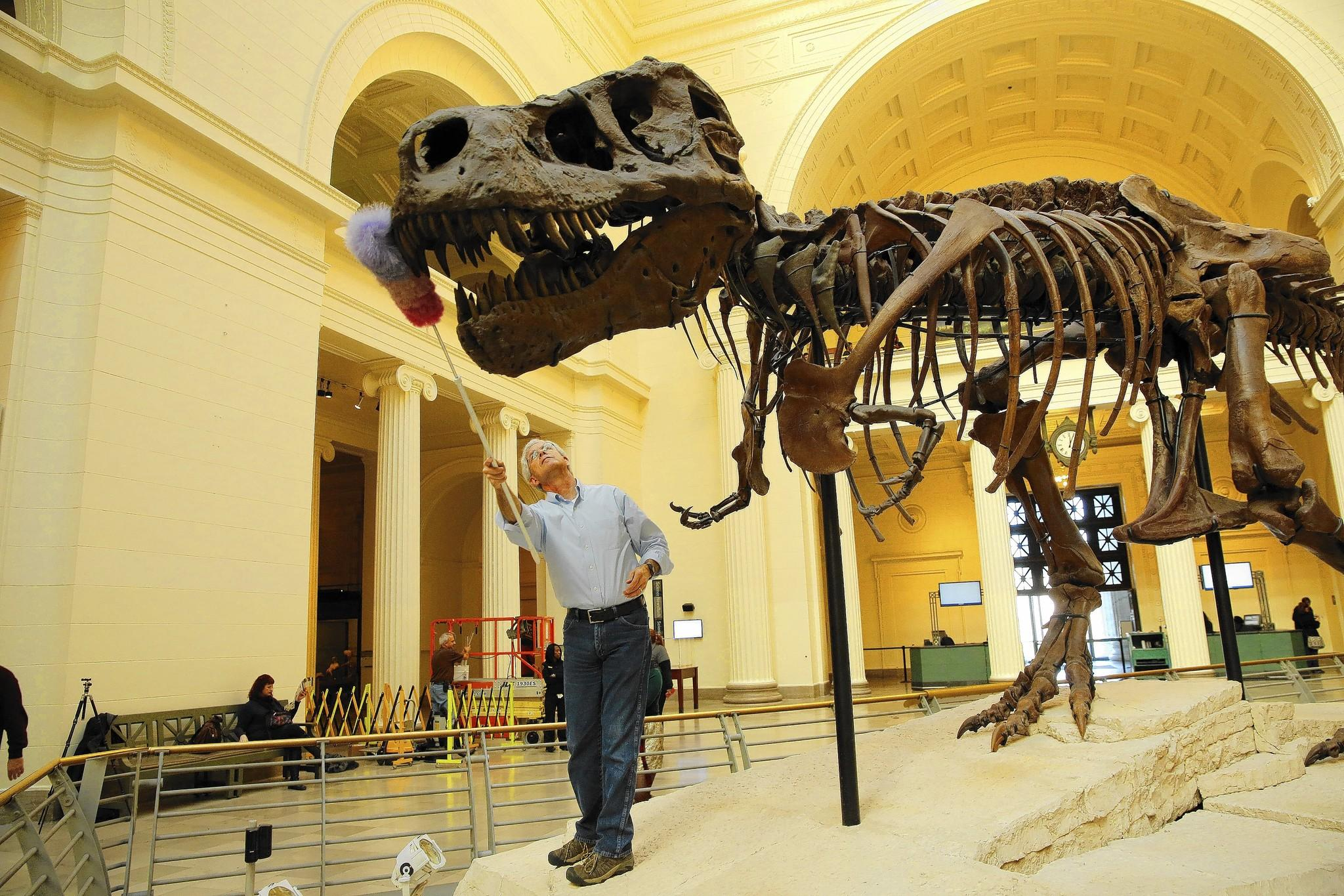 """Geologist Bill Simpson, Fossil Collections Manager, carefully feather-dusts """"Sue,"""" the 67-million-year-old dinosaur in Stanley Hall at the Field Museum. Her more than 200-bone skeleton is cleaned twice yearly."""