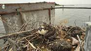 Ospreys in Back River get 'nest calls'
