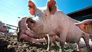 Swine flu cases found in Maryland