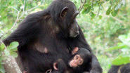Chimpanzees mourn their dead like humans do, research finds