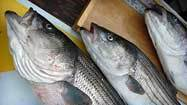 Striped bass reproduction hits record low