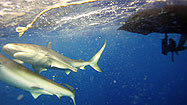 Pictures: Travel to Hawaii -- shark cage diving