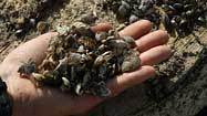 Zebra mussels spotted in upper bay