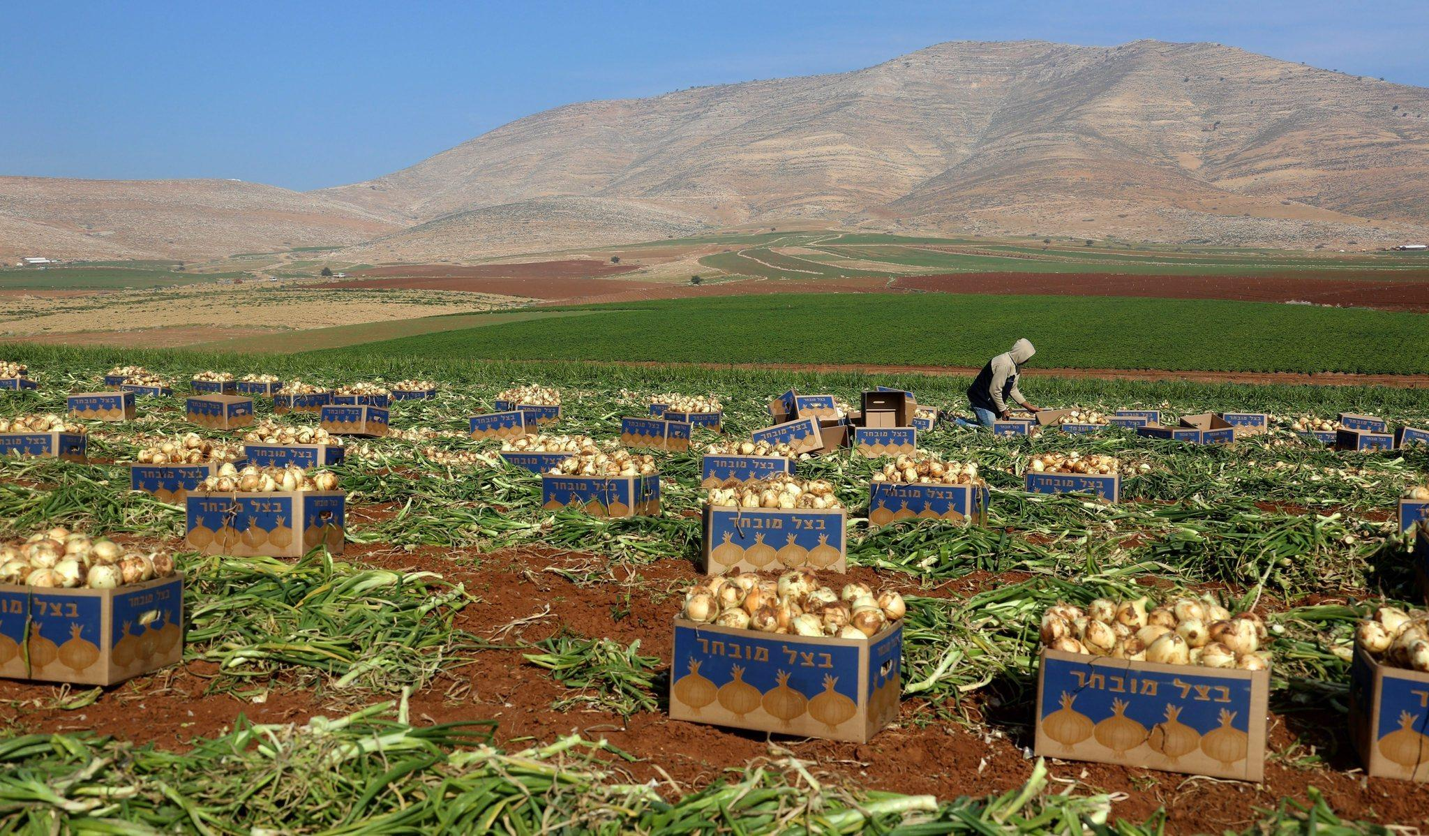 Palestinian workers harvest onions on the outskirts of Tubas in the West Bank. Agriculture is vital to the economy of the West Bank and Gaza, with farmers typically distributing fruits and vegetables through low-cost daily markets.