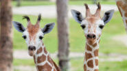 Picture it: Baby giraffes introduced at Busch Gardens guests