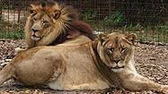 Florida Animal Attraction Guide: Big Cat Rescue, Tampa