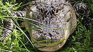 Florida Animal Attraction Guide: Croc Encounters, Tampa