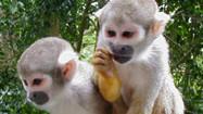 Florida Animal Attraction Guide: Monkey Jungle, Miami
