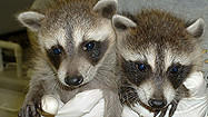 Florida Animal Attraction Guide: Peace River Wildlife Center, Punta Gorda