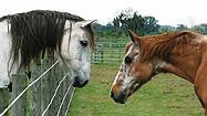 Florida Animal Attraction Guide: Sixteen Hands Horse Sanctuary, Myakka City