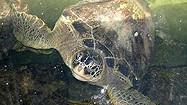 Florida Animal Attraction Guide: The Turtle Hospital, Marathon