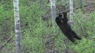 Raw: Hungry Bear Goes Out On A Wire