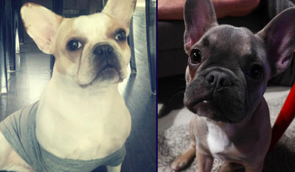 French bulldogs Rue (left) and Pierre disappeared when their owners' home was burglarized Tuesday morning.