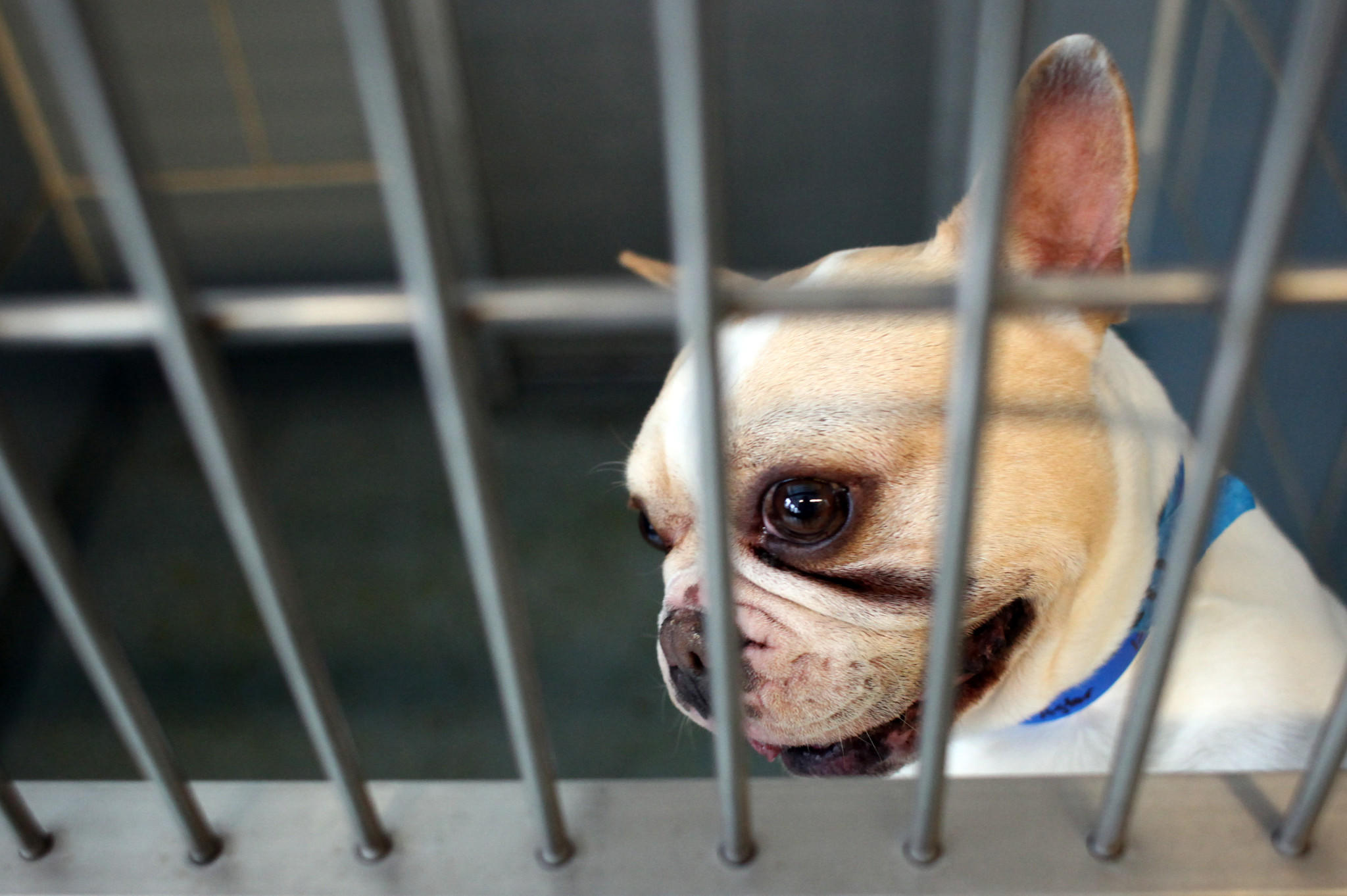 Astor, a French bulldog, is one of the 27 dogs that arrived in Chicago after being rescued from three puppy mills in Missouri at the Anti-Cruelty Society on Thursday March 24, 2011.