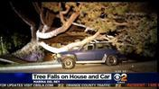Tree Falls On Marina Del Rey Home, Destroys SUV