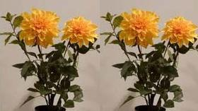 Southtown Dahlia Club presents Propagation Workshop -- Cloning Your Favorite Dahlias