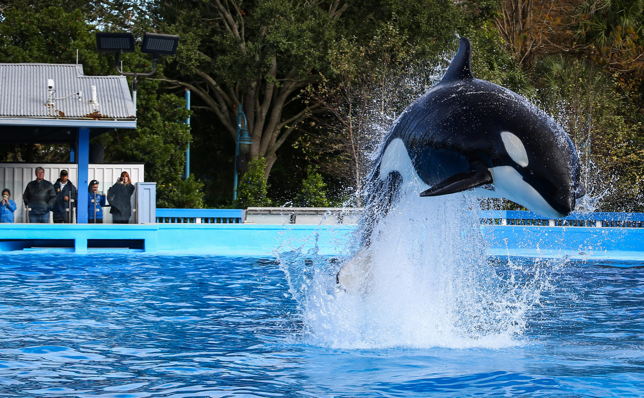 Trainers work with Orcas during a show at the Shamu up close attraction at SeaWorld in Orlando, on January 07, 2014.