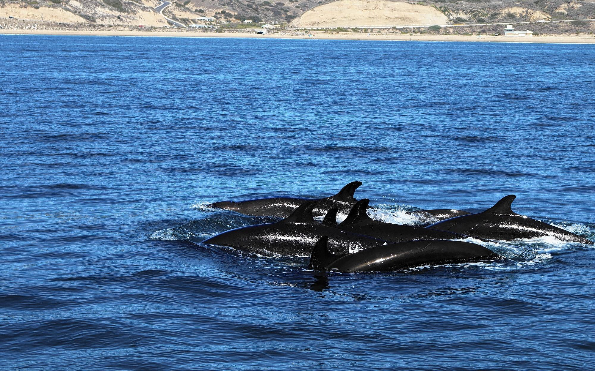 Rarely seen false killer whales explored the waters off Newport Beach Wednesday and Thursday.