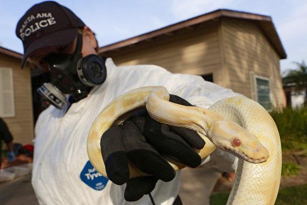 Santa Ana police animal services supervisor Sondra Berg holds one of the living pythons found inside the Santa Ana home of a grade school teacher.