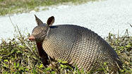 Armadillos pass leprosy to humans, study finds