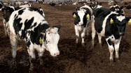 China's thirst for milk gives U.S. dairy farms a boost