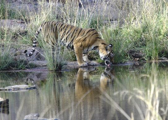 A tiger in the Ranthambhore national park of India.