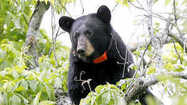 Black Bears Seeking Higher Ground