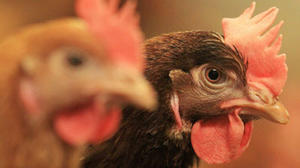 FDA finds arsenic build up in chickens fed arsenic-laced chow
