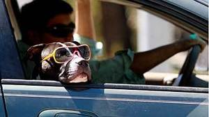 Is driving going to the dogs?